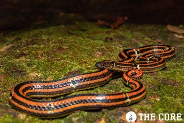 やんばるに生息するハイは激レアな毒蛇です。
