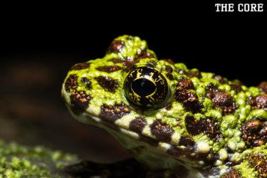 オキナワイシカワガエルは絶滅危惧種の珍しいカエルです