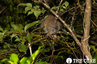 ケナガネズミは日本最大のネズミで天然記念物に指定されています。