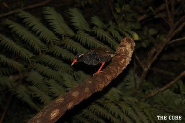 飛べない鳥「ヤンバルクイナ」は沖縄を代表する鳥です