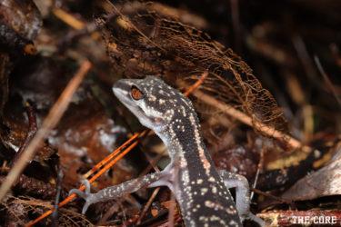 クロイワトカゲモドキの生息地域には特徴があります。