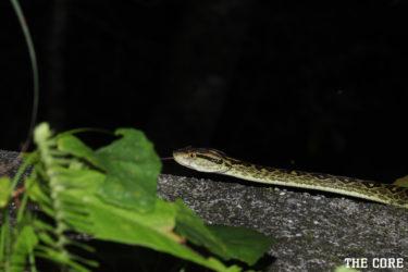 ホンハブは毒性の強い日本で一番危険な蛇です。